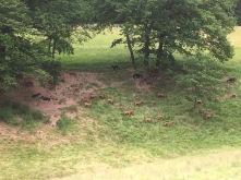 Les chèvres sont en pâture
